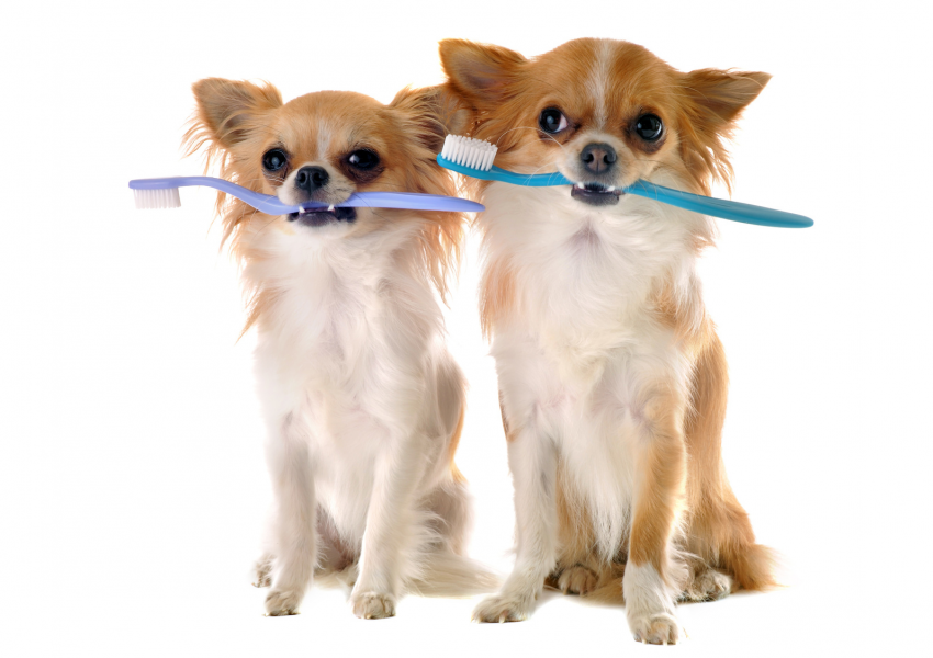 chiens et brosses à dents